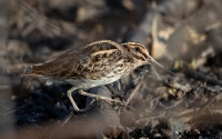 Jack Snipe in winter
