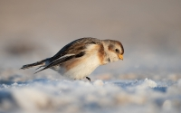 Snow Buntings in winter